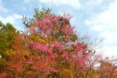 вишневый цвет в chiangmai Таиланде Стоковые Фото