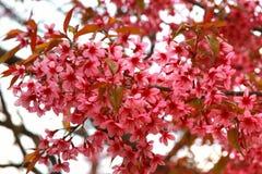вишневый цвет в chiangmai Таиланде Стоковое фото RF
