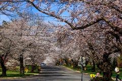 Вишневый цвет в MD Kenwood Стоковое Изображение