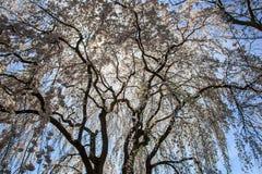 Вишневый цвет в MD Kenwood Стоковые Фото