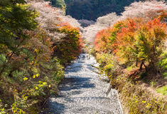 Вишневый цвет зимы вызвал Shikisakura с листьями осени Стоковое фото RF