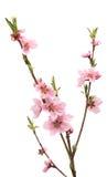 Вишневый цвет, изолированные цветки Сакуры Стоковое Изображение RF