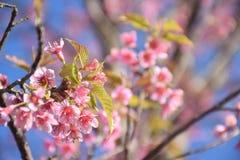Вишневый цвет или одичалая гималайская вишня в Таиланде стоковые фото