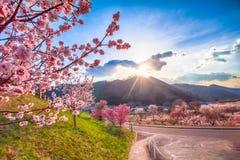 Вишневый цвет и Сакура на дороге стоковая фотография rf