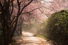 Вишневый цвет и Сакура Стоковые Изображения RF