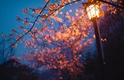 Вишневый цвет и уличный фонарь Стоковые Фото
