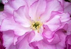 Вишневый цвет макроса Стоковые Изображения RF