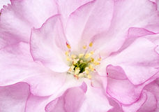 Вишневый цвет макроса Стоковая Фотография