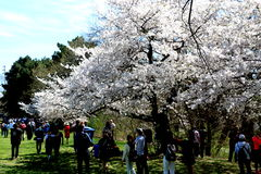 Вишневый цвет на высоком парке, ОНТАРИО, КАНАДЕ стоковая фотография rf