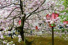 Вишневый цвет на мяте Японии, Осака Стоковая Фотография RF