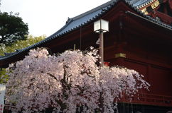 Вишневый цвет на парке Ueno Стоковое фото RF