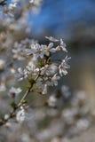 Вишневый цвет на Сакуре Стоковые Фотографии RF