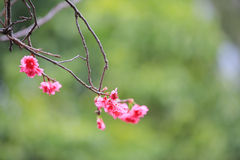 Вишневый цвет на chau cheung стоковые изображения