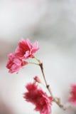 Вишневый цвет на chau cheung стоковое фото rf