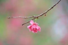 Вишневый цвет на chau cheung стоковые фотографии rf