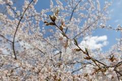 Вишневый цвет Нью-Йорк весны Стоковые Изображения RF