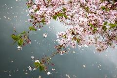 Вишневый цвет, Осака, Япония Стоковая Фотография