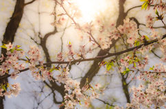 Вишневый цвет под солнечностью в парке замка Осака, Японии Стоковое фото RF