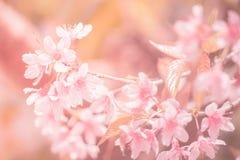 Вишневый цвет предпосылки Sukura цветет на весеннем сезоне и мягком тоне пастели процесса фокуса Стоковая Фотография