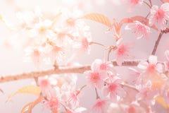 Вишневый цвет предпосылки Sukura цветет на весеннем сезоне и мягком тоне пастели процесса фокуса Стоковые Фотографии RF