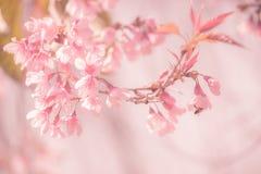 Вишневый цвет предпосылки Sukura цветет на весеннем сезоне и мягком тоне пастели процесса фокуса Стоковое фото RF