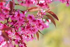 Вишневый цвет, розовый цветок Сакуры Стоковая Фотография RF