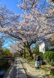 Вишневый цвет Сакура в Киото, Японии стоковое фото rf