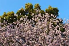 Вишневый цвет Сакура на предпосылке зеленых дерева и сини Стоковая Фотография