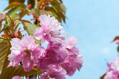 Вишневый цвет, Сакура против голубого неба Стоковое Изображение
