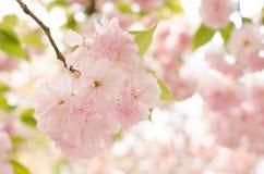 вишневый цвет. Сакура Стоковое фото RF