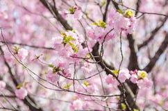 Вишневый цвет Сакуры или Японии разветвляет, который будет полно bloomi Стоковая Фотография
