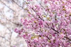Вишневый цвет Сакуры или Японии разветвляет, который будет полно bloomi Стоковое Фото