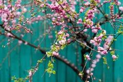 Вишневый цвет Сакуры Стоковые Изображения RF