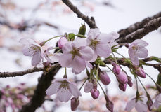 Вишневый цвет Сакуры Стоковое фото RF