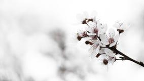 Вишневый цвет светлого тонового изображения Pinky Стоковое Фото