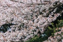 Вишневый цвет, сезон Сакуры в Японии Стоковое фото RF