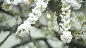 Вишневый цвет с падая снегом видеоматериал
