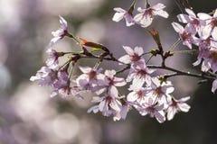 Вишневый цвет Японии & x28; Tree& x29 Сакуры; весенний сезон или сезон hanabi в Японии, на открытом воздухе предпосылке пастельно стоковые фотографии rf
