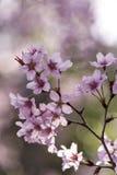 Вишневый цвет Японии & x28; Tree& x29 Сакуры; весенний сезон или сезон hanabi в Японии, на открытом воздухе предпосылке пастельно стоковое изображение
