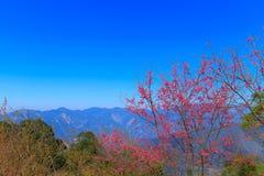 Вишневый цвет Стоковое Изображение