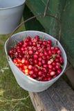 вишни вручают выбранное органическое Стоковые Изображения