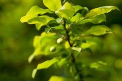 вишни зеленые прокишут Стоковая Фотография RF