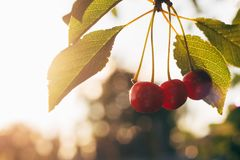 3 вишни зрелой в солнечном свете Стоковая Фотография