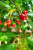 вишни зрелые прокишут Стоковое фото RF