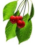 вишни намочили белизну Стоковое фото RF