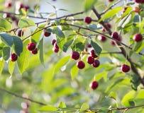 Вишни на ветви дерева Стоковая Фотография
