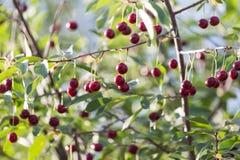 Вишни на ветви дерева Стоковые Изображения