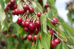 Вишни на вишневом дереве Стоковая Фотография RF