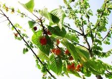Вишни на вишневом дереве Стоковые Фото