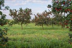 Вишни на дереве сада Стоковые Изображения